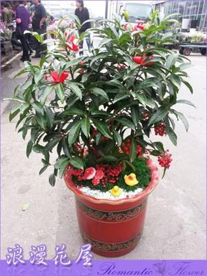 黃金萬兩盆栽3-148