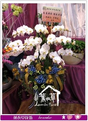 高雅蝴蝶蘭12朱y344817