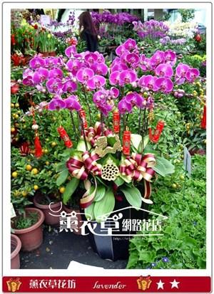 大型蝴蝶蘭16株y9596