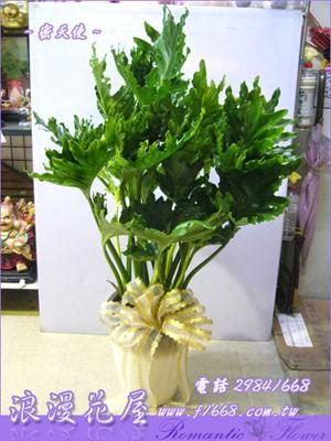 密天使盆栽 3-100