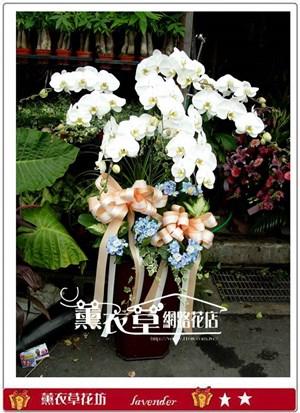 高雅蝴蝶蘭8株y3382