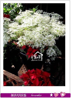 聖誕白雪~聖誕限定款b120808