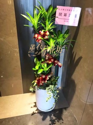 巴西盆栽一盆c100601