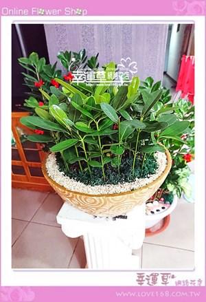 龍珠盆栽E0806