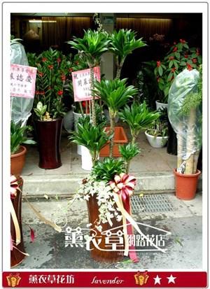 阿波羅盆栽y3949