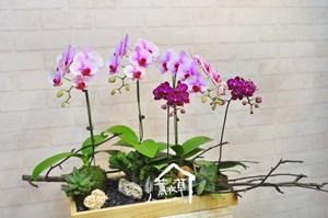 蝴蝶蘭 禮盆B112610