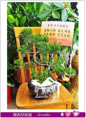 松柏盆栽B111701