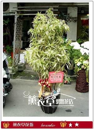 百合竹盆栽y10169