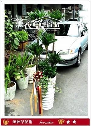 阿波羅盆栽y3956