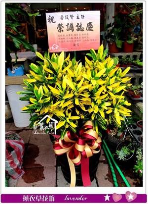 彩葉盆栽c080335