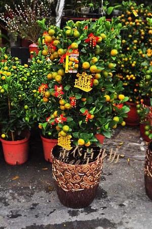 新年金桔樹108011201