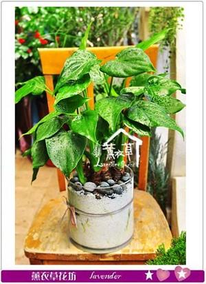 佛手芋盆栽設計 106040906