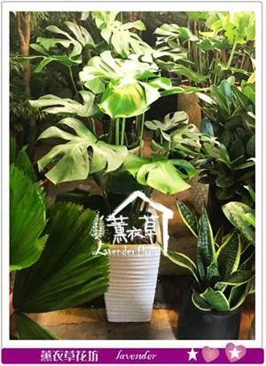 曼綠榕盆栽 106100416