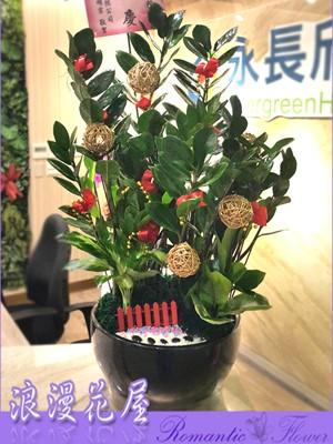 金錢樹盆栽3-144
