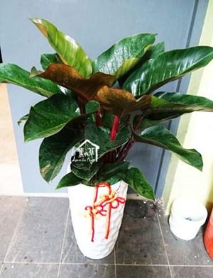 紅帝王盆栽106060701