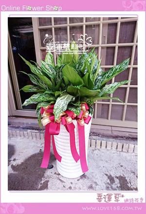 綠孔雀盆栽E0701