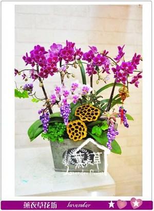 迷你蝴蝶蘭 設計106011707
