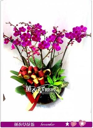 滿天紅蝴蝶蘭y344620