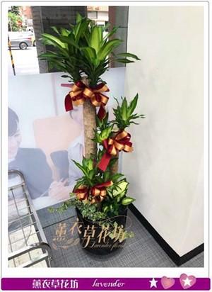 巴西盆栽A071618
