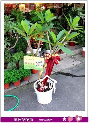 雞蛋花盆栽aa577