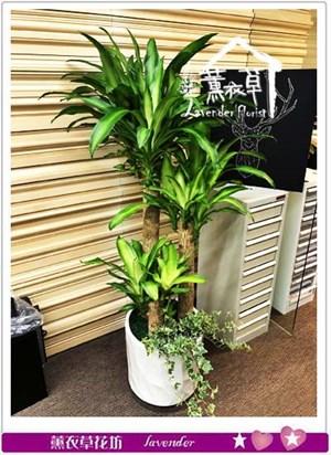 巴西盆栽 106112423