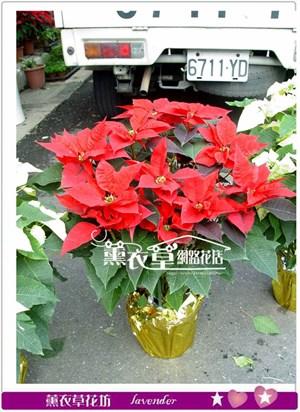 聖誕紅一次需購買10盆y33181