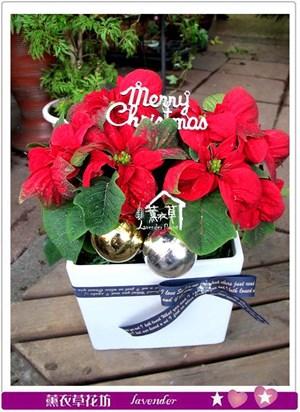 聖誕紅設計2盆~限定款~b120102