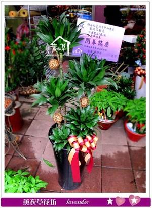 阿波羅盆栽c031824