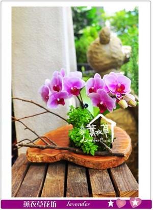 小品迷你蝴蝶蘭設計 107052401