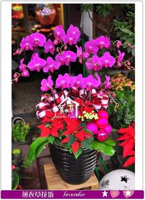 高雅蝴蝶蘭8朱c111502