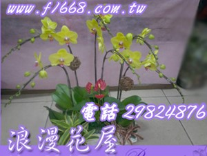 哇莎咪6株蝴蝶蘭 D97