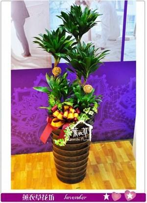 阿波羅盆栽a013011