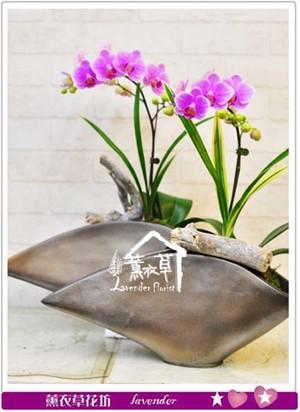 蝴蝶蘭設計~單盆b111302