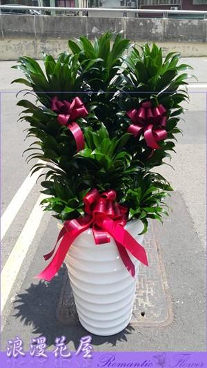 阿波羅盆栽 3-147