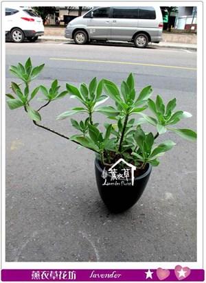白水木盆栽c032806