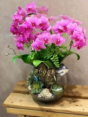 迷你蝴蝶蘭設計108030709