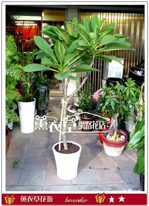 雞蛋花盆栽y31362