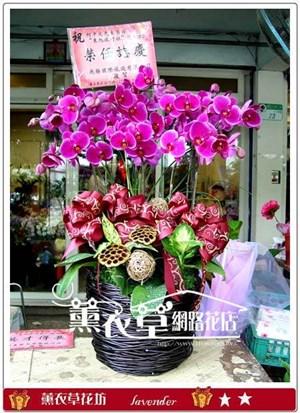 高雅蝴蝶蘭9朱y6655