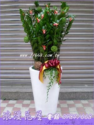 金錢樹盆栽3-6