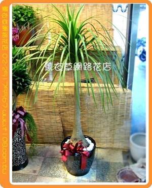 酒瓶蘭盆栽D549