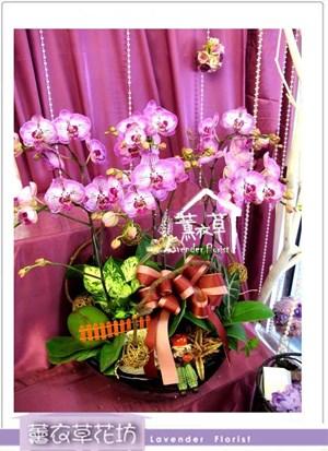 高雅蝴蝶蘭6株a5626