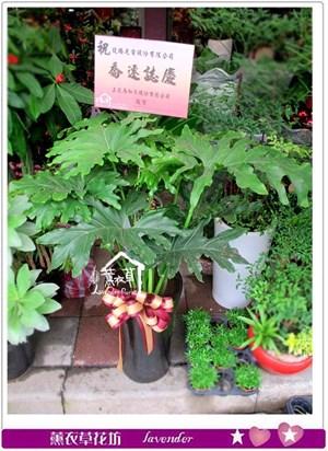 天使盆栽c052321