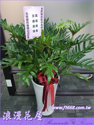 蔓綠絨盆栽(大天使) 3-130